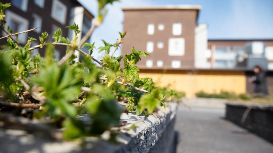 Kukkaistutuksesta lähikuva vuokra-asunnon piha-alueelta. Kesä ja aurinko paistaa.
