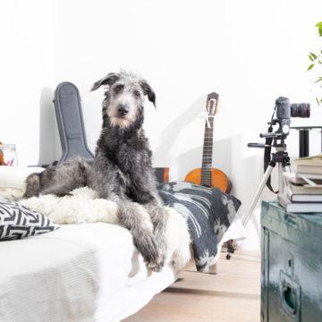 Harmaa iso koira istuu sängyn päällä. Taustalla näkyy kitarakotelo ja kitara sekä kamera, joka on jalustalla.