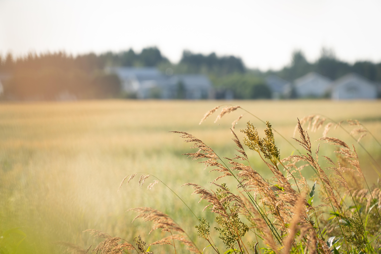 Elokuista peltomaisemaa. Pellon reunna, heiniä etualalla, peltoa ja taustalla taloja. Kesäilta.